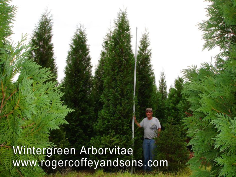 the many uses and purposes of red cedars and masks Uses the soft red-brown timber is valued for its distinct appearance, aroma, and its high natural resistance to decay, being extensively used for outdoor.